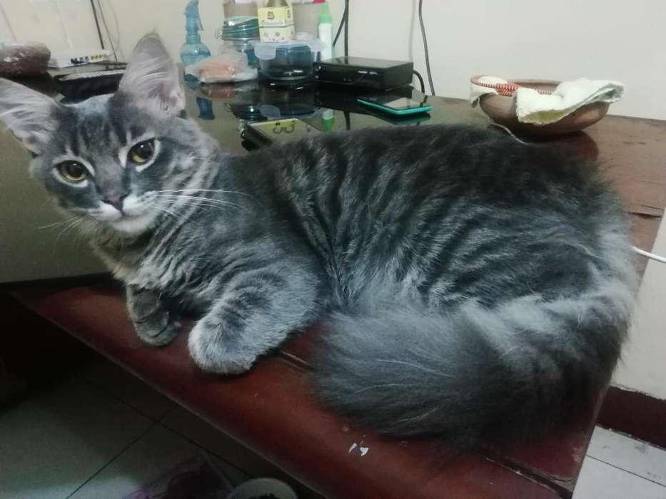 <strong>gato</strong> Adopción 6 Meces