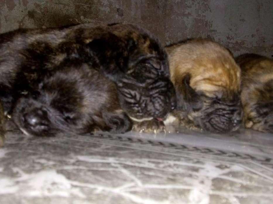 Cachorros Fila Brasilero