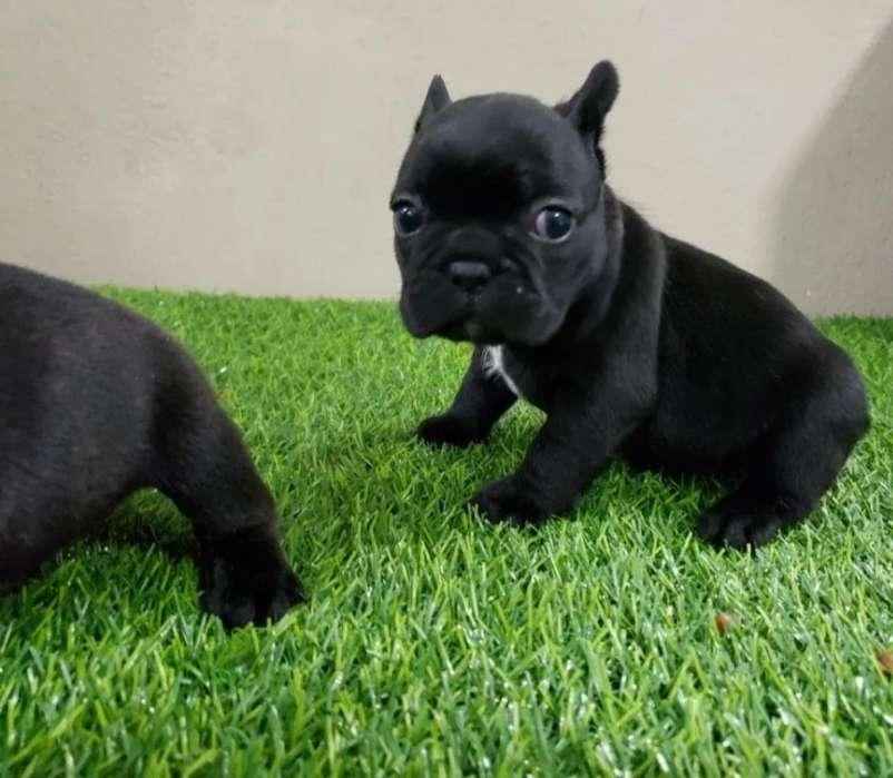Ejemplares Cachorros Bulldog Frances
