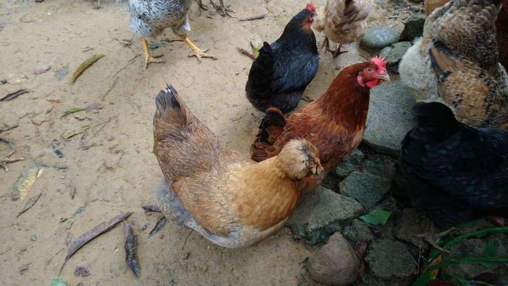 Gallos Gallinas <strong>pollos</strong> de Huevos Azules.