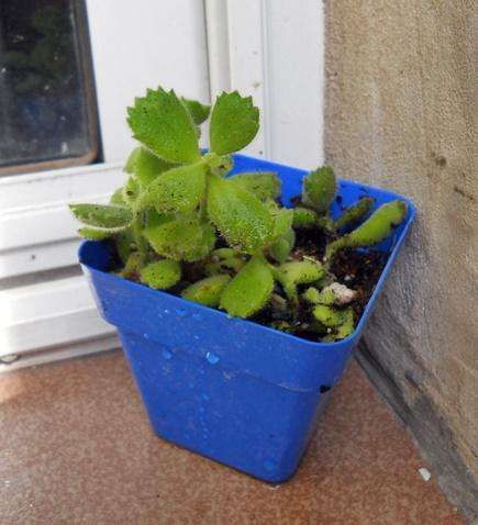 Planta Cotyledon Tormentosa / Garra De Oso M 10