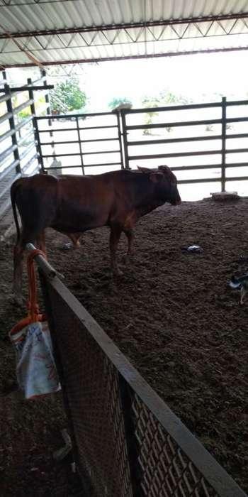 Venta Vacas 7 Colores