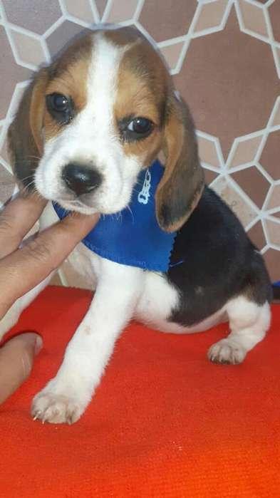 <strong>beagle</strong> Enanin Pocho