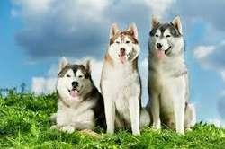 cachorros lobo siberiano raza certificada