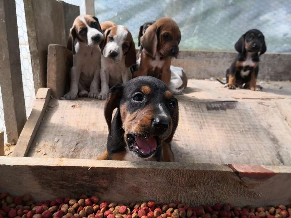 Sabuesos Coonhound
