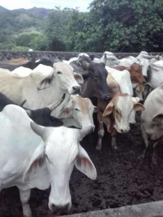 vendo lote de ganado criollo de todas las edades en piedras tolima