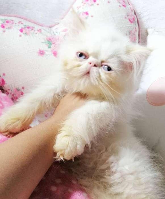 <strong>gato</strong> Persa Pequeface Macho