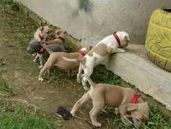 Cachorros Pit Disponibles