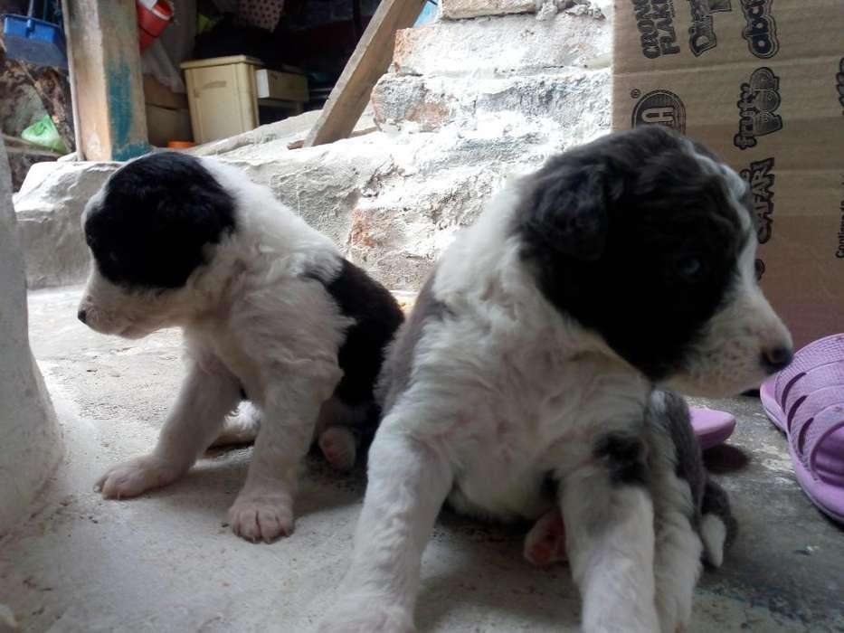 Hermosos <strong>perros</strong>. Boder Collie Pastoreros