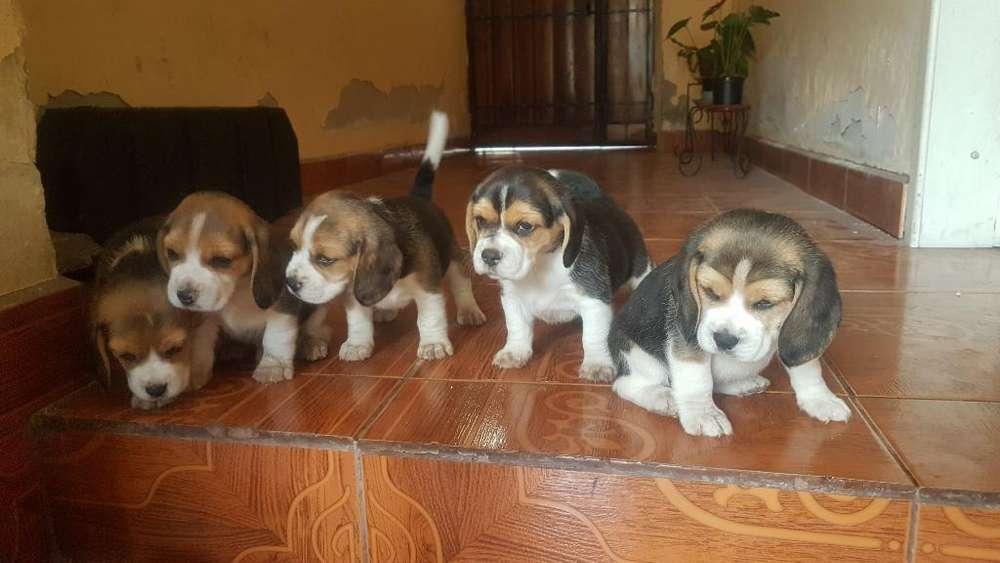 Cachorros Beagles Puros Padres Ingles