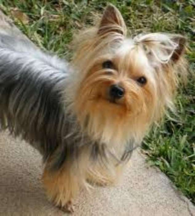 Se Busca Novia Yorskie <strong>terrier</strong>