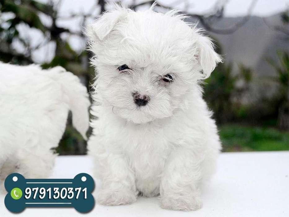 Cachorros Bichon Maltes Toys *ENVIOS A TODO EL PERÚ *Garantía de Raza y Salud