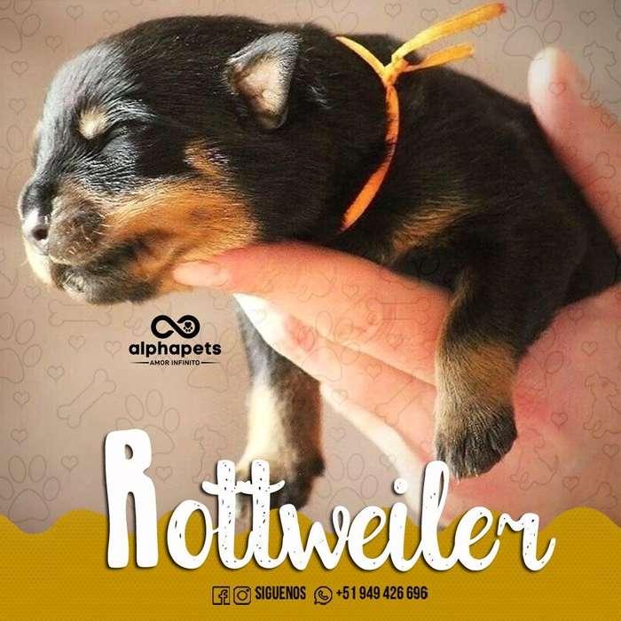 IMPACTANTES <strong>cachorro</strong>S ROTTWEILER ALTO STANDARD GENETICO A1 PERÚ
