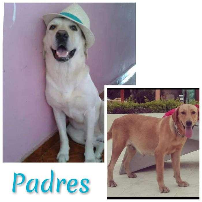 Venta de Perros Labradores Puros