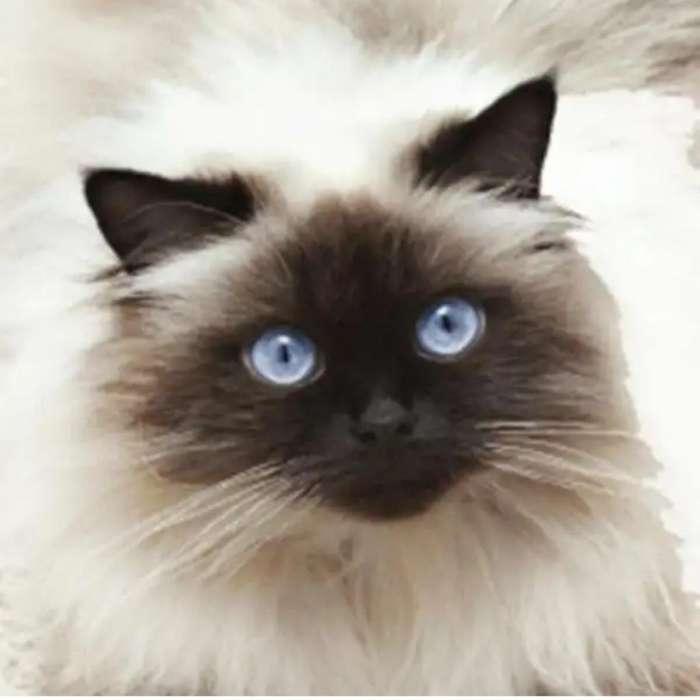 Busco Adoptar Gato Himalaya 0997060355