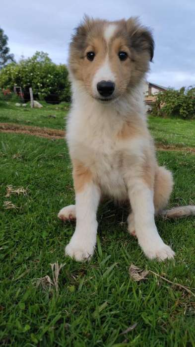 Hermosos <strong>cachorro</strong>s Pastor Collie