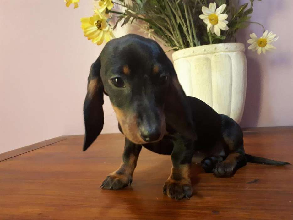 IMPERDIBLES DASCHUND, salchichitas, hembritas, super mini, s