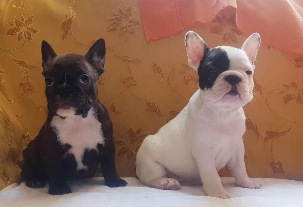 <strong>cachorro</strong>s Bulldog Francés