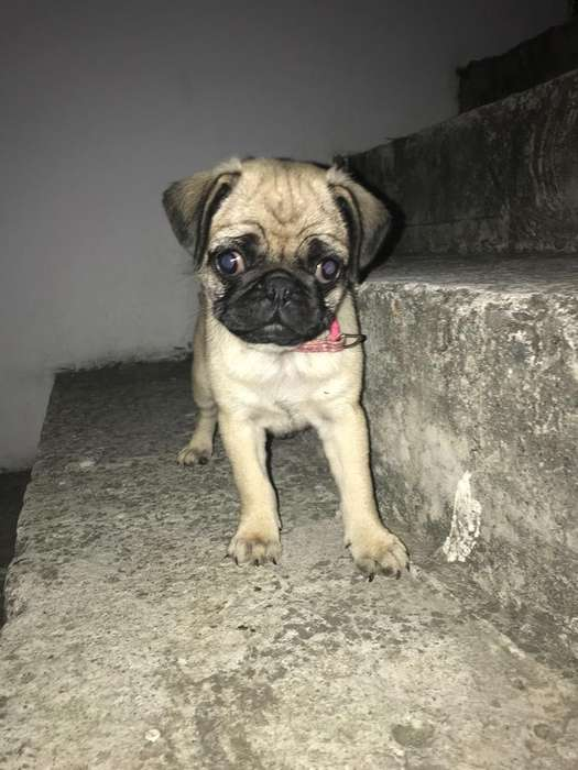 Pug Carlino Hembrita