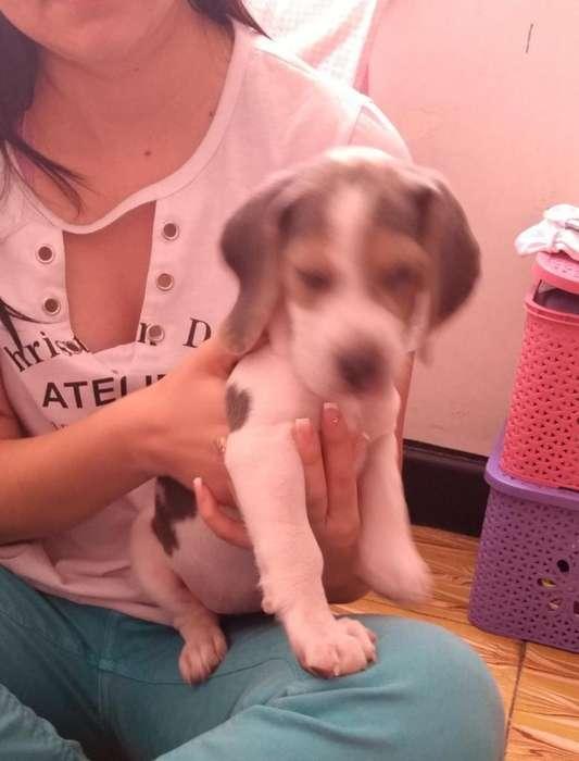 Hermosa <strong>beagle</strong> juguetona con vacunas y desparacitada 3196516760