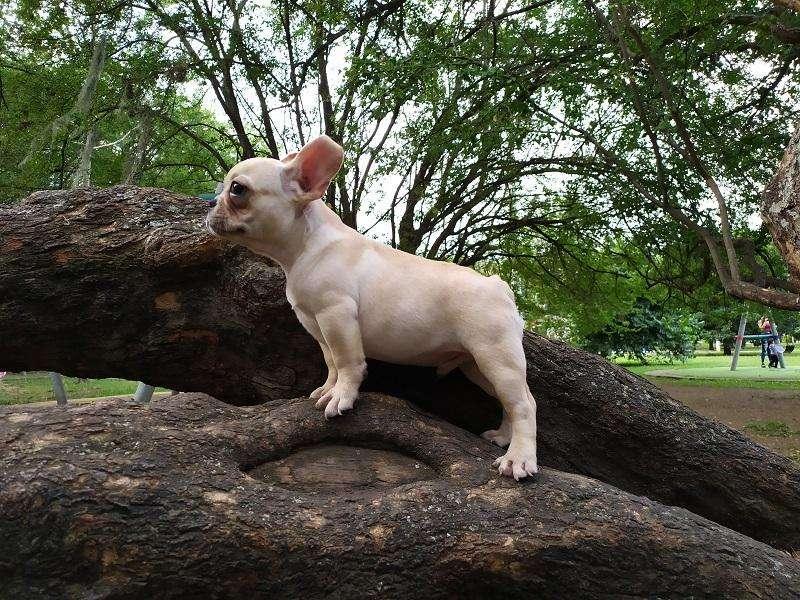 Vendo hermoso <strong>cachorro</strong> de bulldog francés machito color fawn de 3/2 meses raza totalmente pura con todo al dia