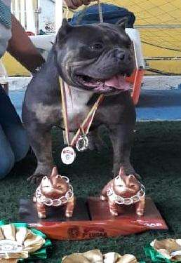 AMERICAN BULLY reproductor