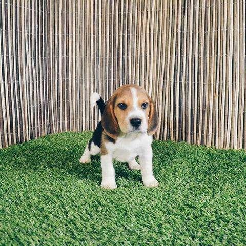 beagle hermoso 12 pulgadas macho