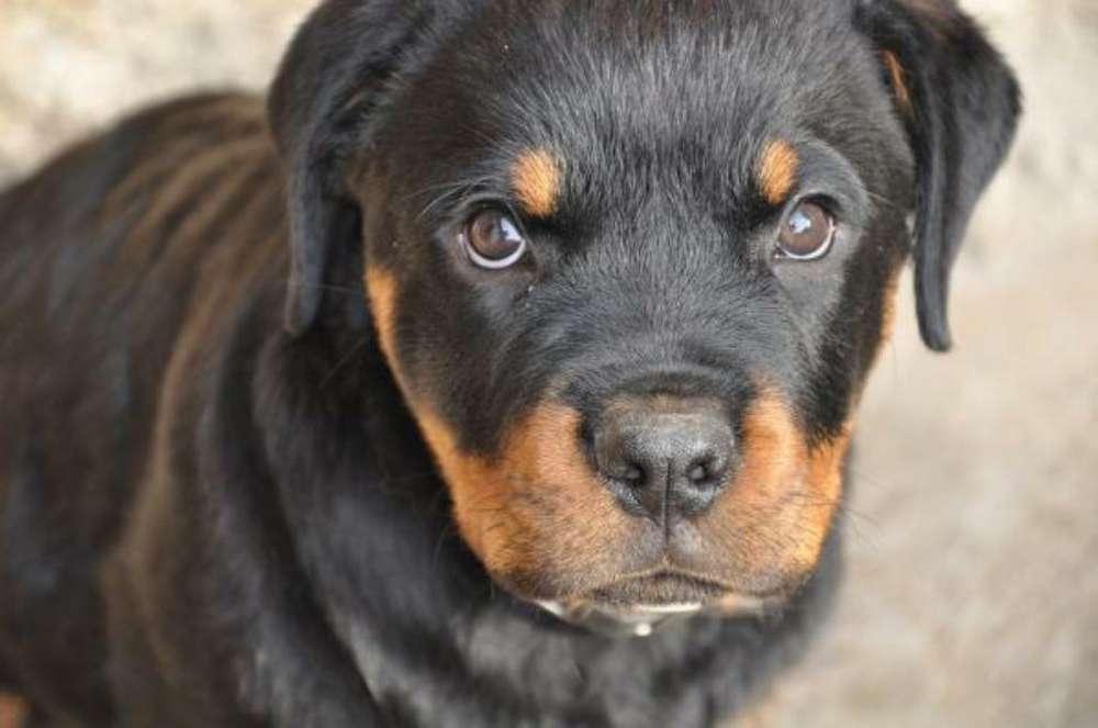 <strong>rottweiler</strong> Puros 0960143062 Dispongo 2