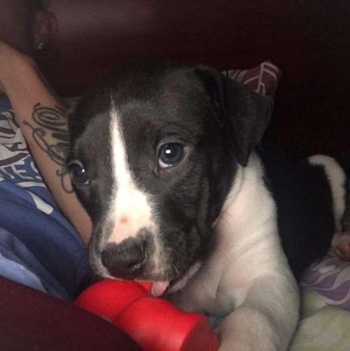 Vendo Cachorro Pitbull de Pedrigee