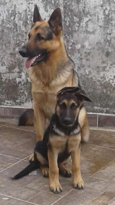 Cachorro Pastor Aleman Disponibles
