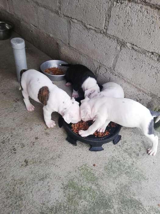 Cachorros Pitbulls.