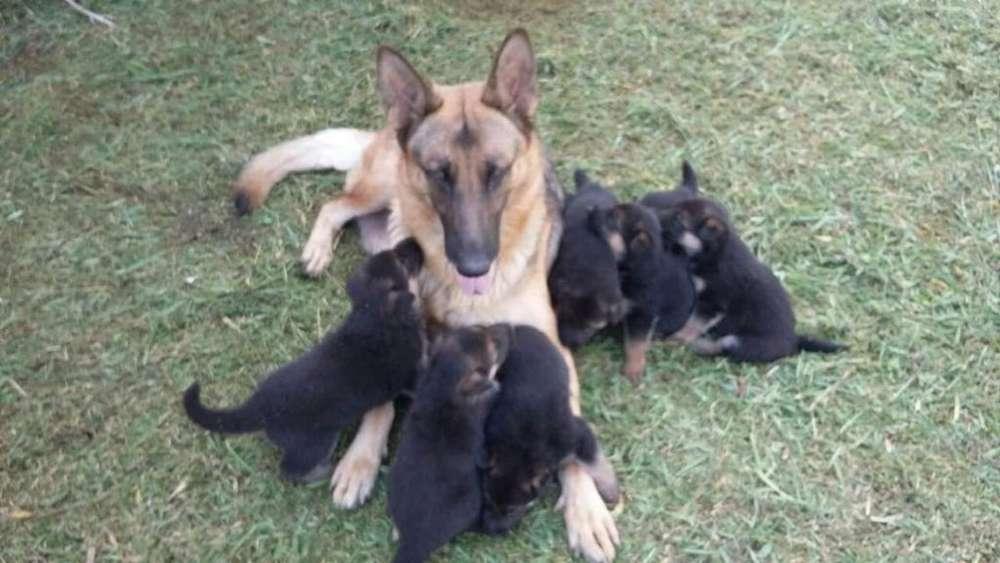 <strong>cachorro</strong>s Pastor Alemán Dispónibles