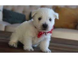 se venden cachorritos west highland <strong>terrier</strong> (westy )