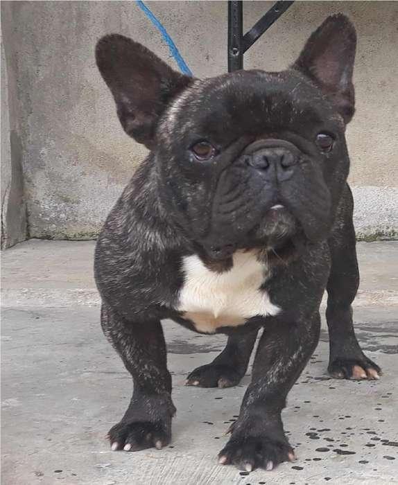 Bulldog Frances Monta O Venta