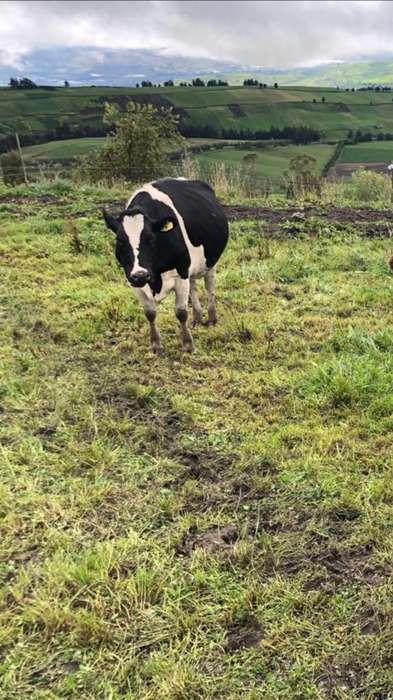Vendo <strong>vaca</strong>s