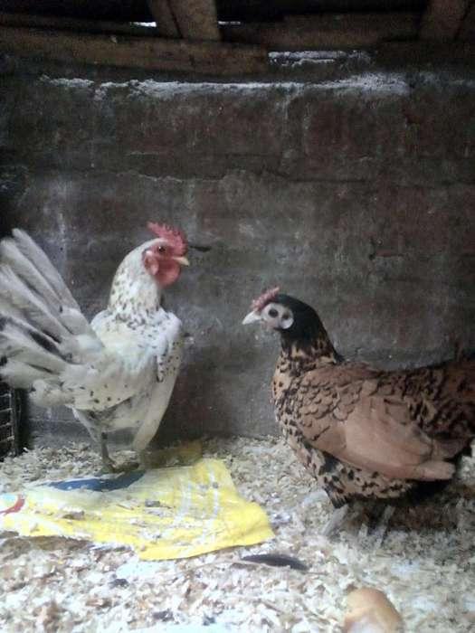 gallina y gallo cruzado con sebright