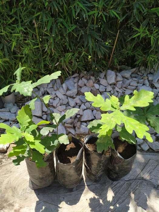 Plantín Árbol de Roble