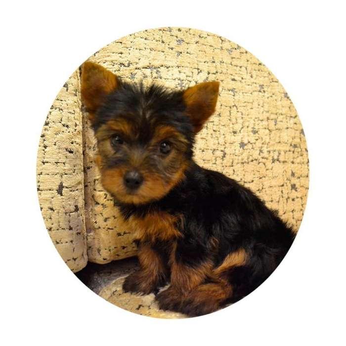 Cachorros Yorkshire Criadero Canino