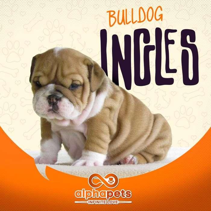 EXTRAORDINARIOS <strong>cachorro</strong>S BULLDOG INGLES SUPREMOS REGISTRADOS KENNEL CLUB PERUANO PERU ALPHA PETS EXCLUSIVOS PERU