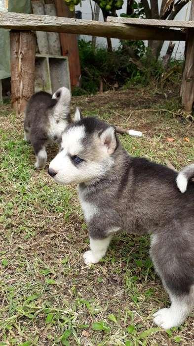 Se Vende Camada de Lobos Siberianos