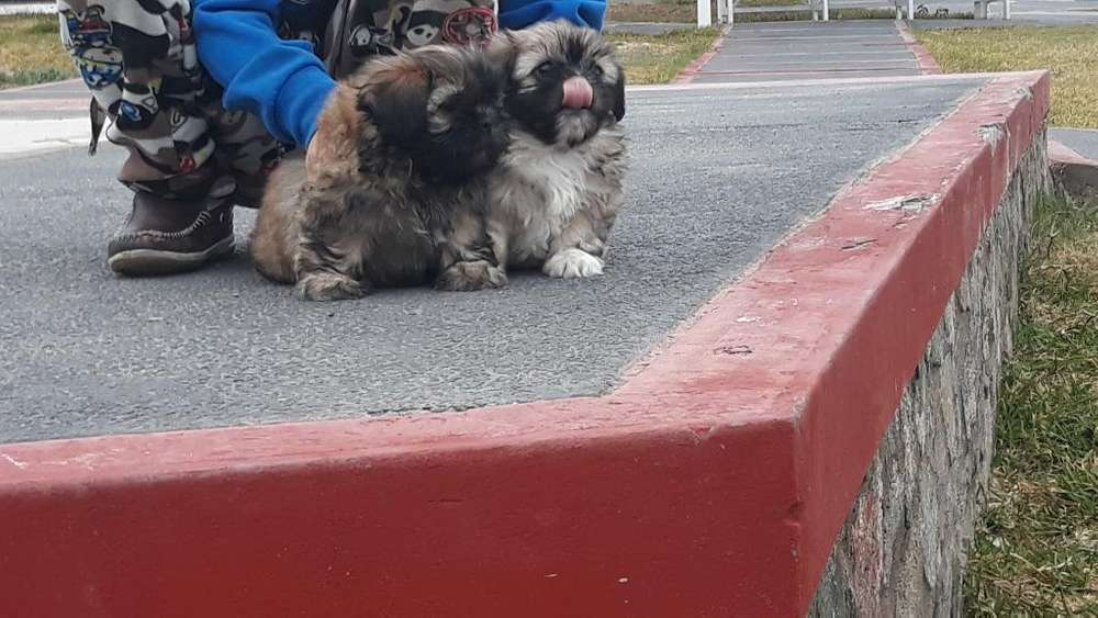 Vendo Lindos Cachorritos Shytzu