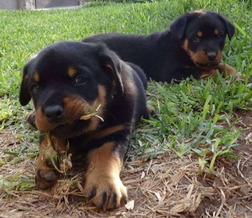 <strong>rottweiler</strong> hembras y machos disponibles
