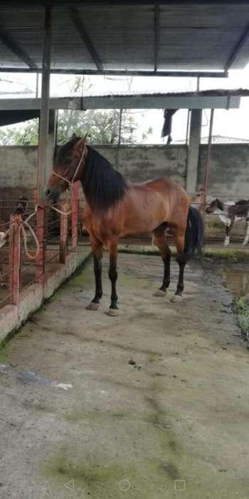 Venta de <strong>caballo</strong> Trochador