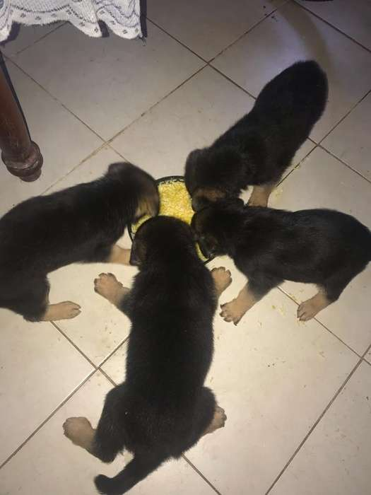 Vendo Cachorros Ovejeros Vacunados