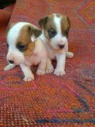 vendo cachorritos jack russell terrier a 300 soles 955078680