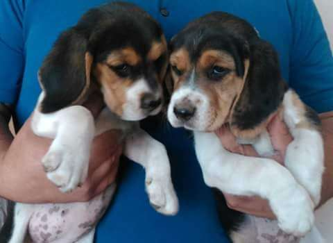 amigables <strong>beagle</strong>s tricolor