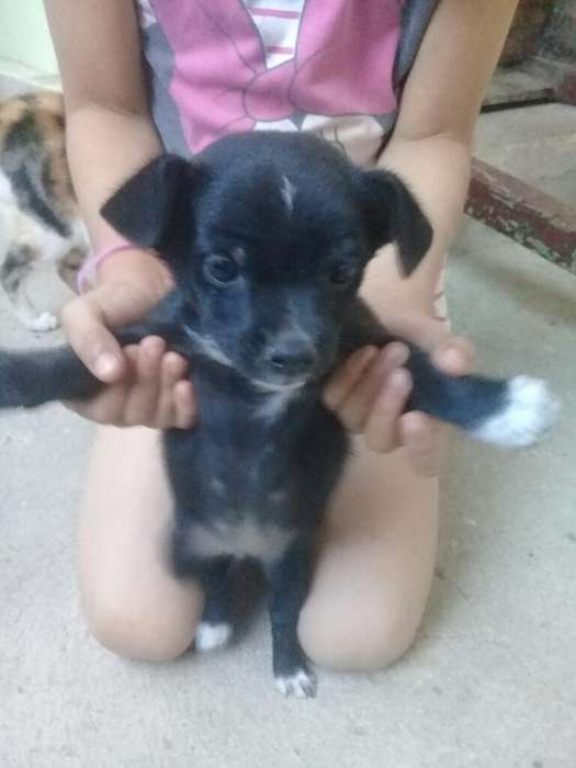Vendo Cachorrita Chihuahua