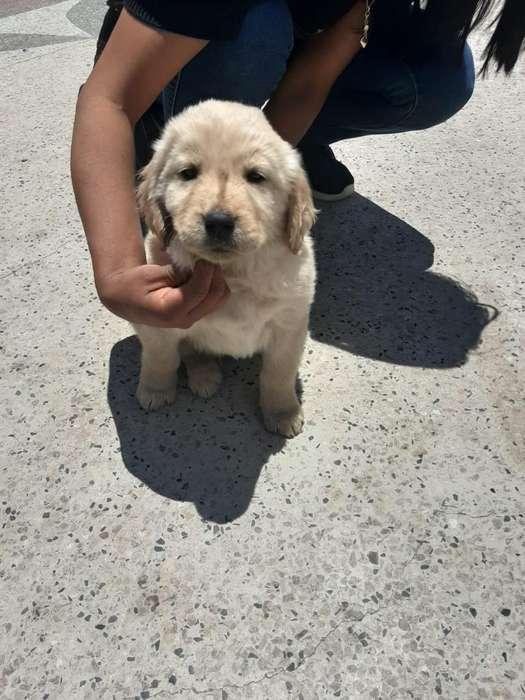 Venta de Cachorros Golden Retrieved