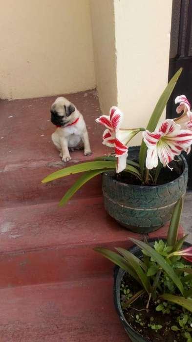 Hermoso Cachorro Pug