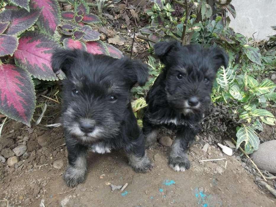 schnauzer Hembras cachorros Negro Plata Raza Pura... Buen precio